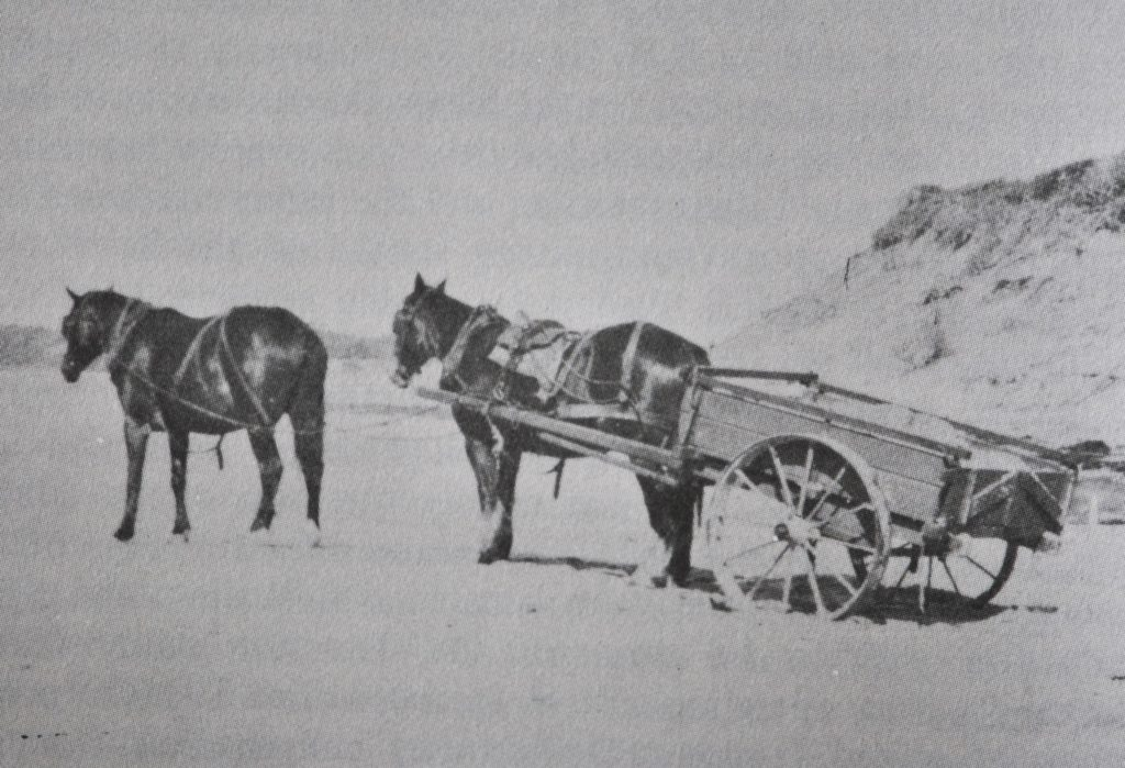 Horses carrying black sand for sluicing on Seven Mile Beach – mid 1930's. Morley Photo.