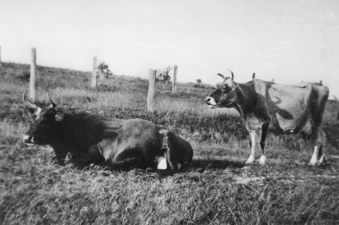 Jersey cows - the basis of the Byron Bay butter industry EJW photo RTRL
