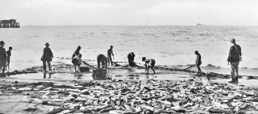 A large haul of fish on Clark's Beach -1920's.EJW Photo – RTRL